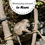 Monkeying Around In Miami