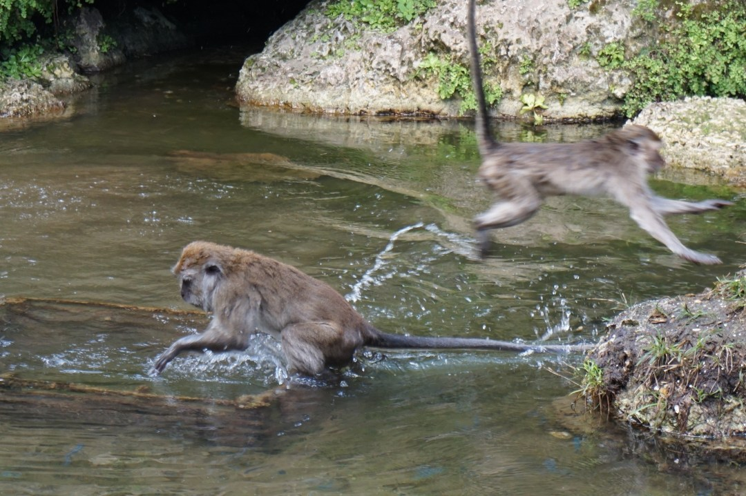 Java macaques love to play in the water at Monkey Jungle