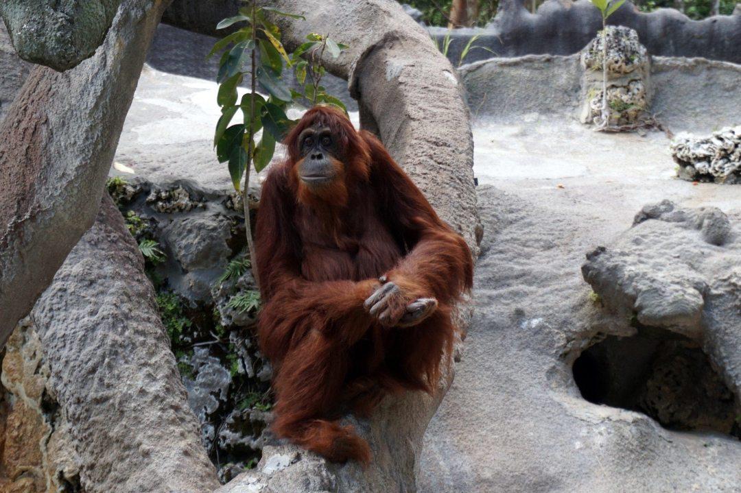 Mei the orangutan at Monkey Jungle