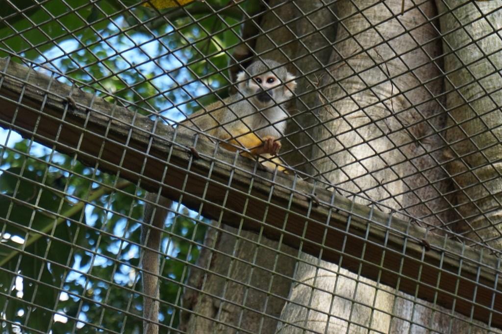 Squirrel Monkey at Monkey Jungle