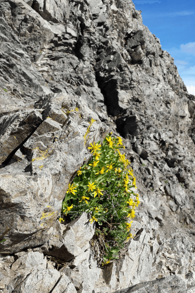 Rocks and flowers at Grays Peak