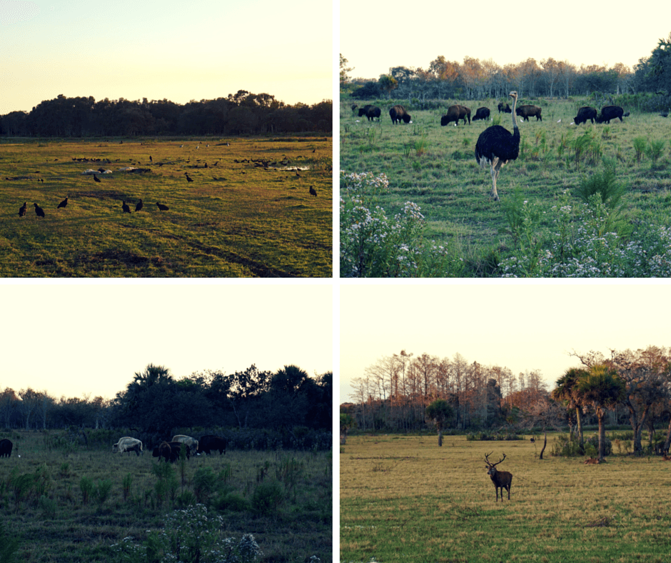 birds, sleeping wild pigs, an ostrich, buffalo (including 2 white ones), and deer at Billie Swamp Safari