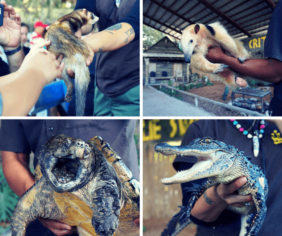A ferret, anteater, alligator snapping turtle, and baby alligator at Billie Swamp Safari