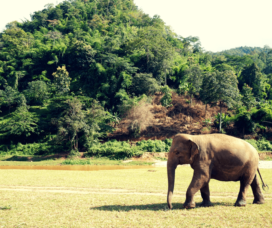 An elephant roaming freely at Elephant Nature Park