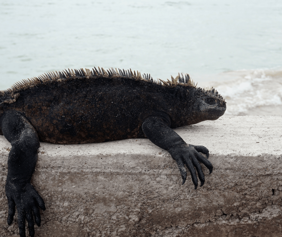An iguana on the beach in the Galapagos