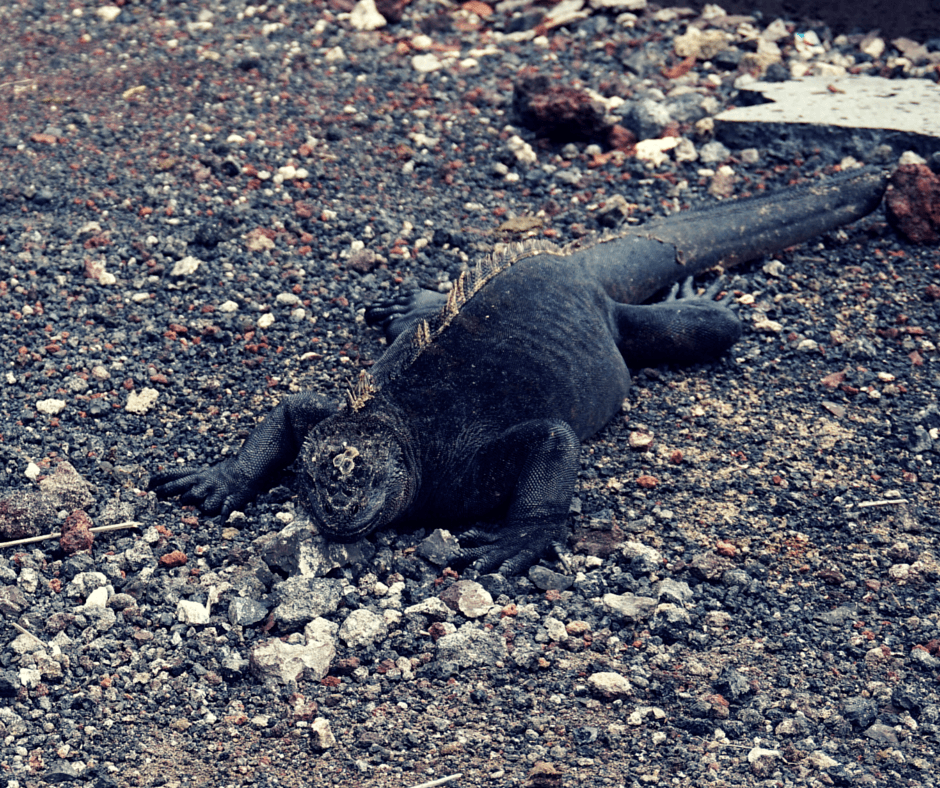 An iguana in the Galapagos