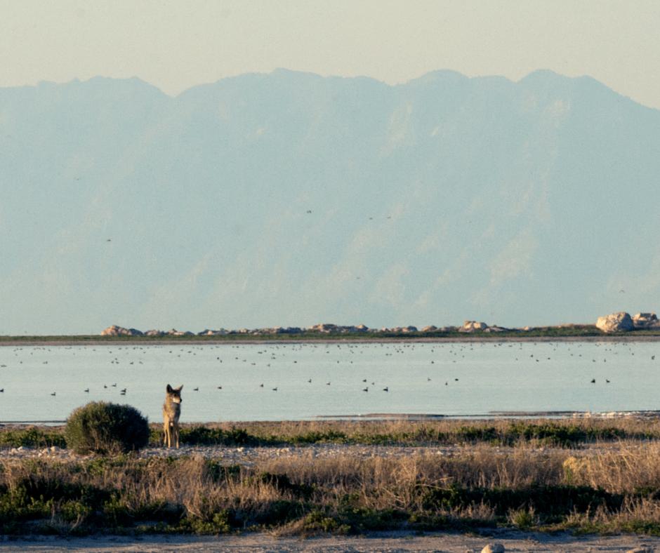 coyote at Great Salt Lake