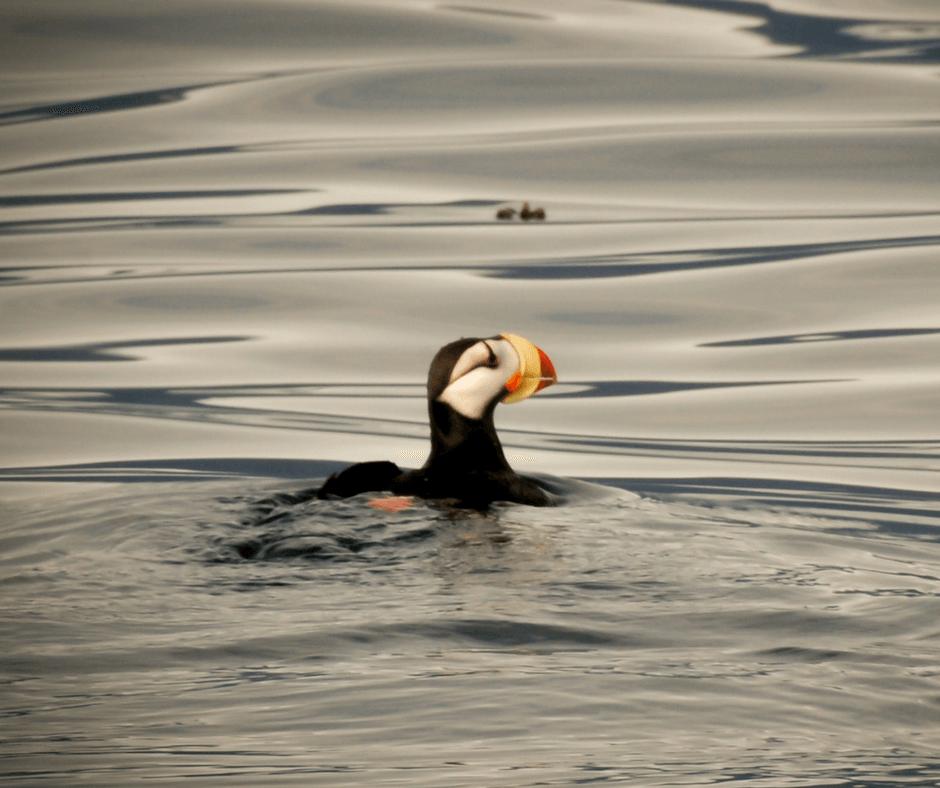 Puffin in Alaska