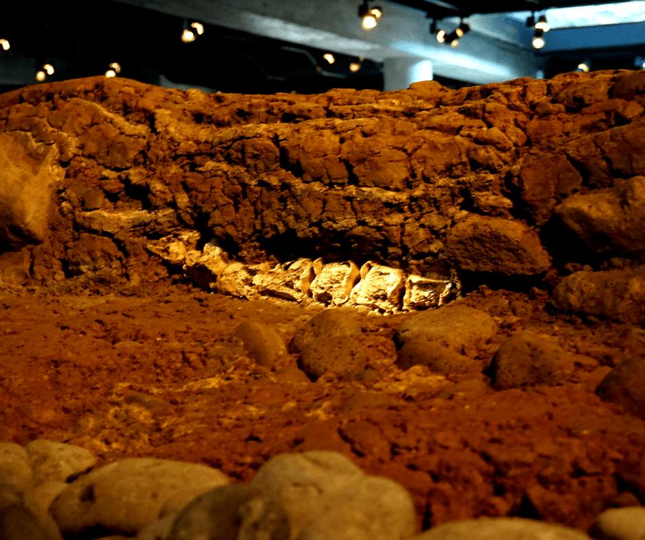 Bones of a walrus inside The Settlement Exhibition