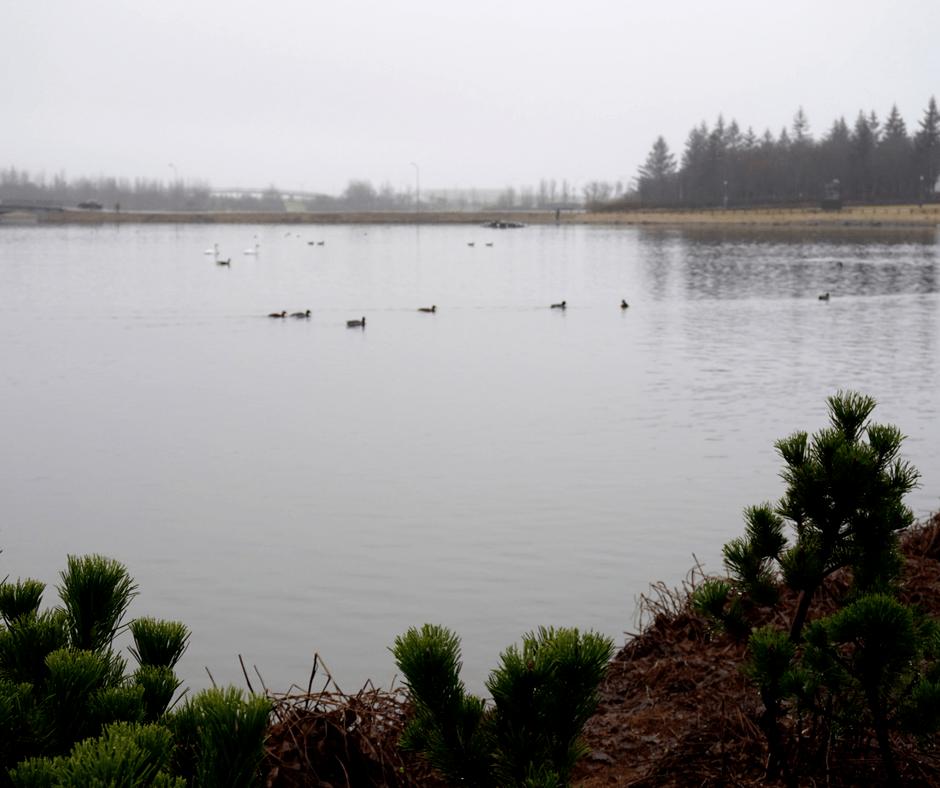 Ducks in Tjörnin Pond