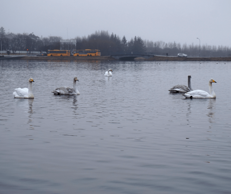 Spend a day in Reykjavik watching the swans in Tjörnin Pond
