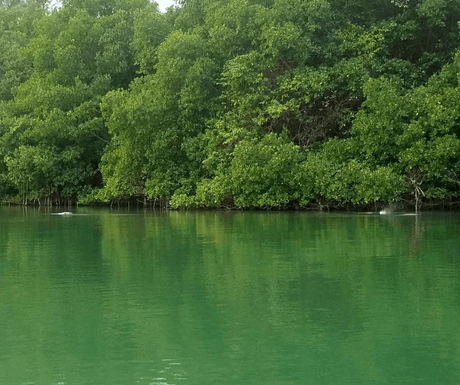 manatees in Lamar Lake Virginia Key
