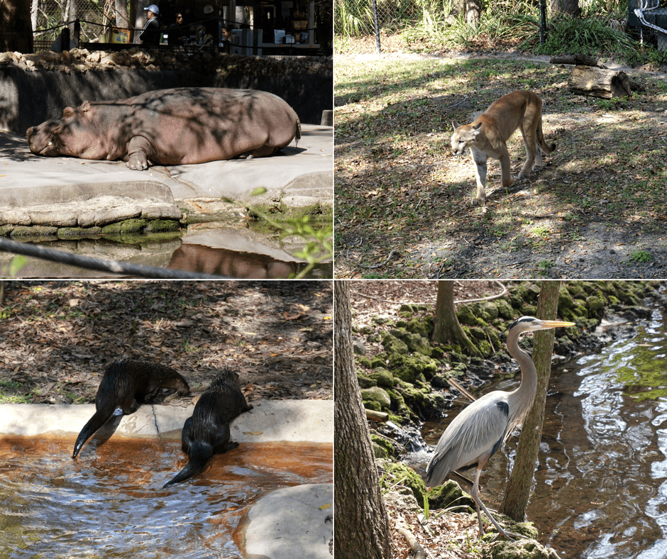 hippo, panther, otters, and herons in homosassa wildlife park