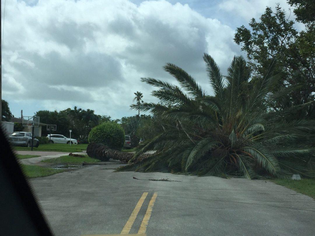 Fallen palm tree from Hurricane Irma