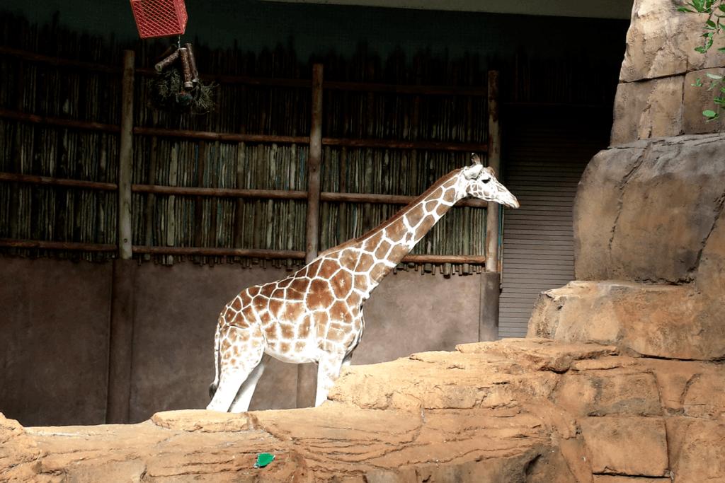giraffe at Lincoln Park Zoo Chicago