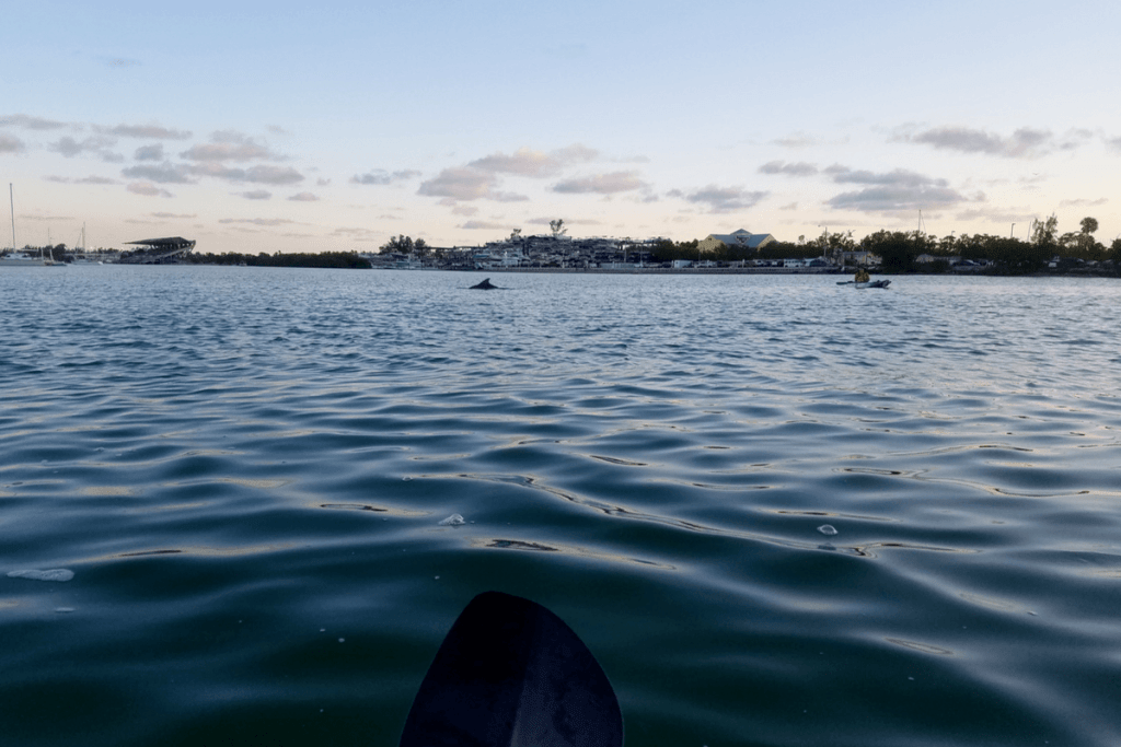 seeing dolphins while kayaking in Virginia Key
