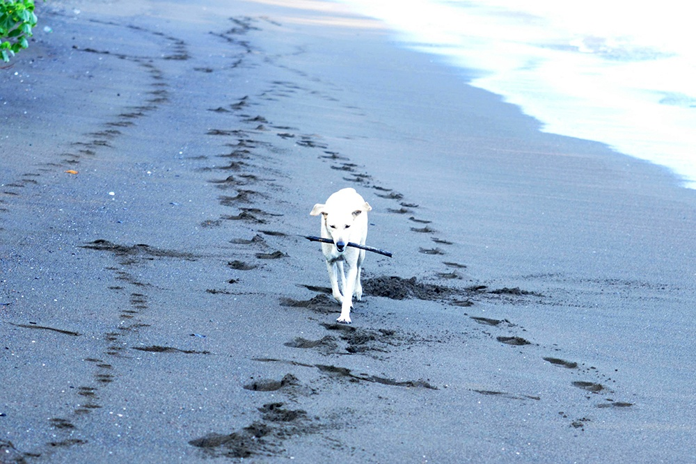 dog witha stick on a beach in Costa Rica