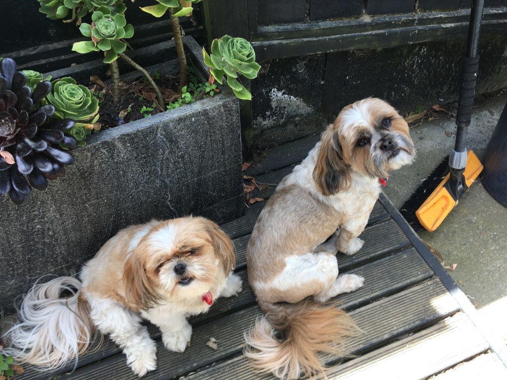 Sooky and Brian, two Shih Tzus, from New Zealand
