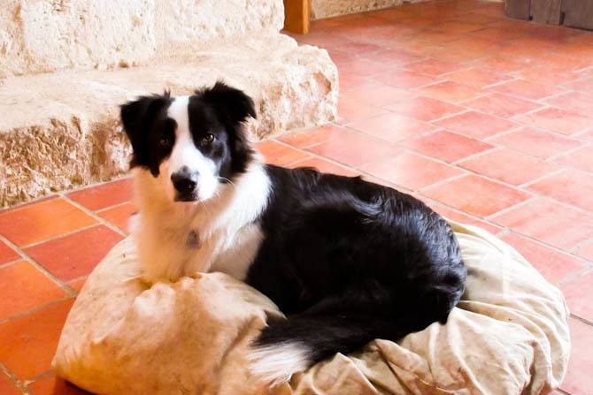 Border Collie on pillow in France