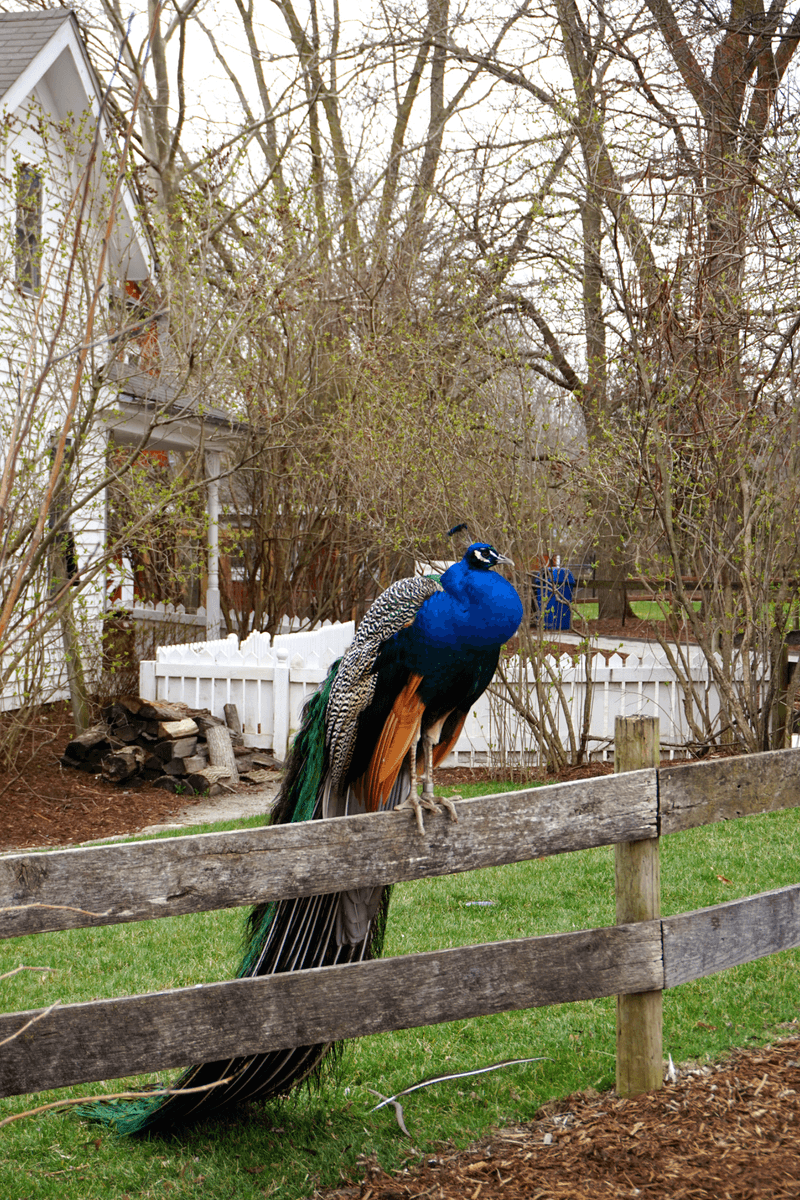 Peacock at the Fort Wayne Children's Zoo