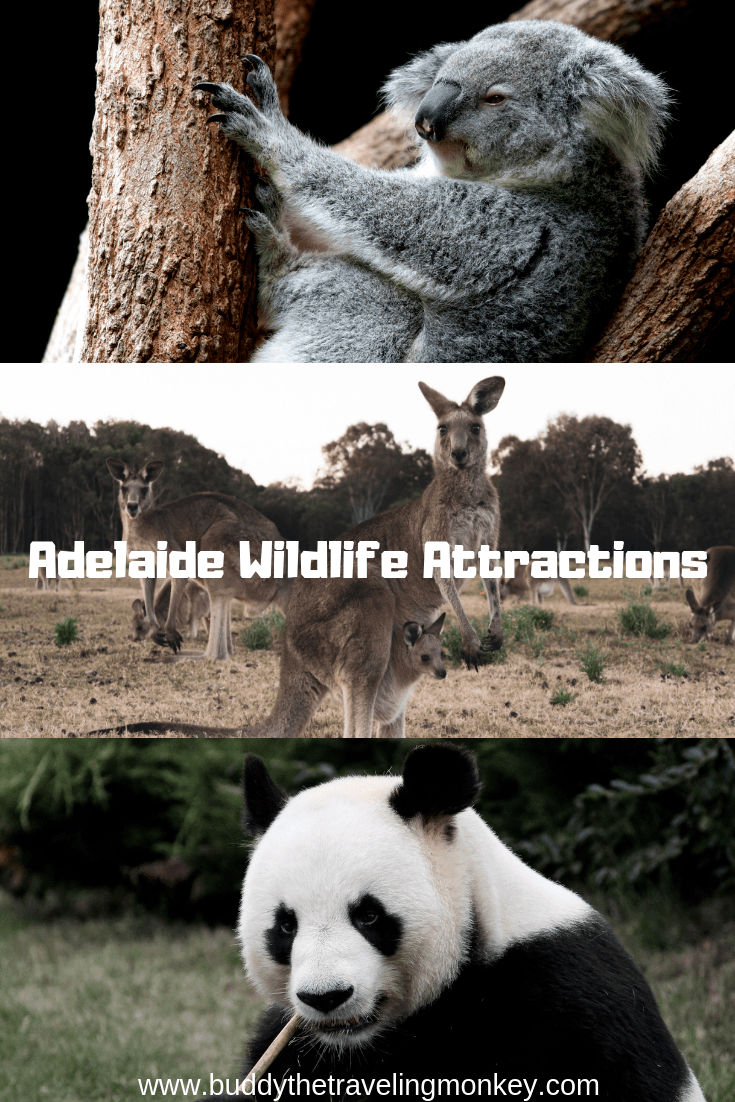 These Adelaide wildlife attractions will delight animal lovers! Get koala cuddles, feed kangaroos, and learn all about Australia's unique and diverse creatures!