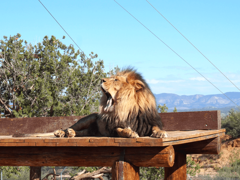 Lion at Arizona Wildlife Park Out of Africa