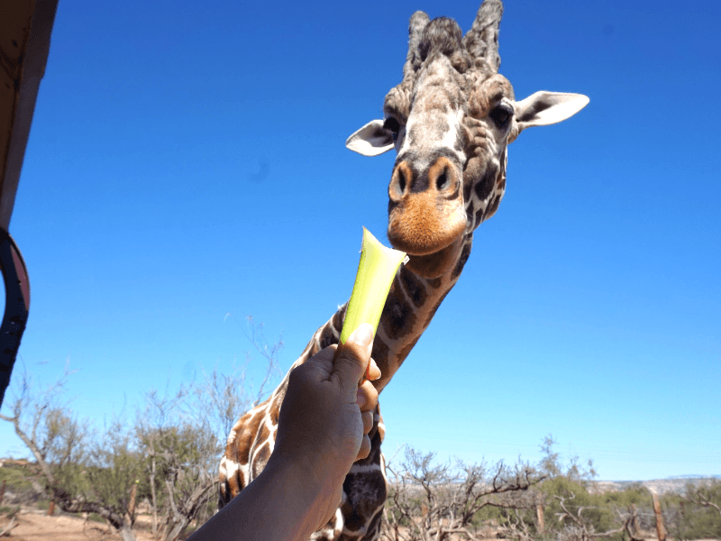 We got to feed a giraffe at Arizona Wildlife Park Out of Africa