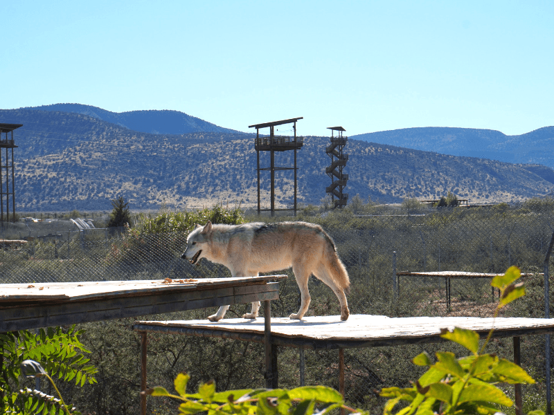 Gray Wolf at Out of Africa Wildlife Park Arizona