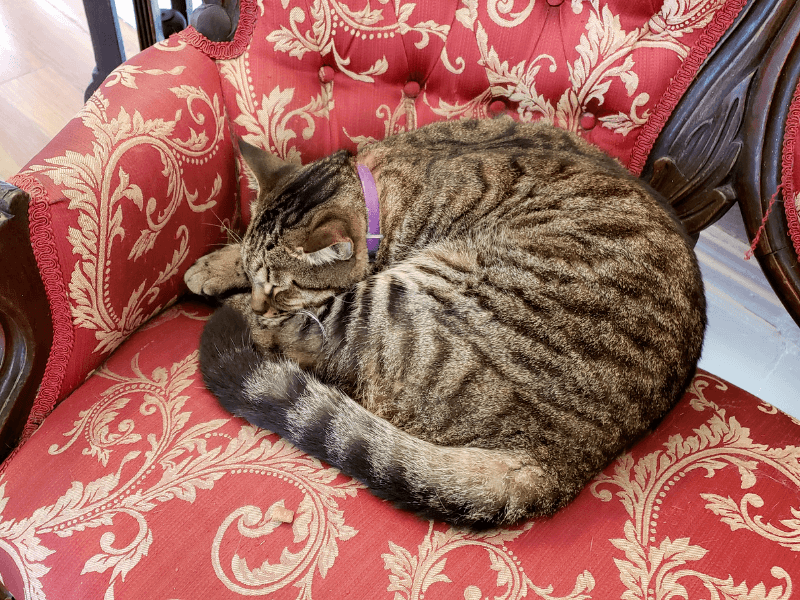 A descendant of one of Hemingway's six-toed cats in Key West