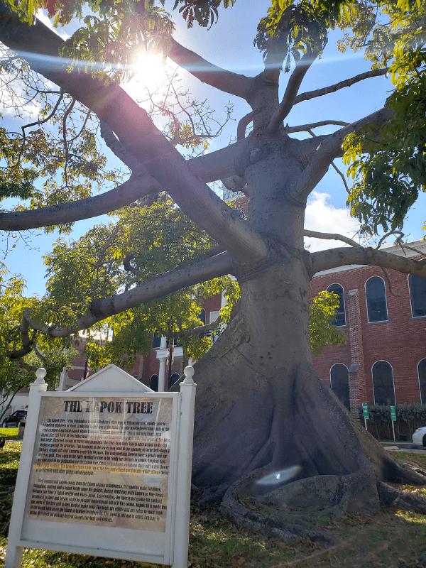 Giant Kapok Tree in Key West, Florida