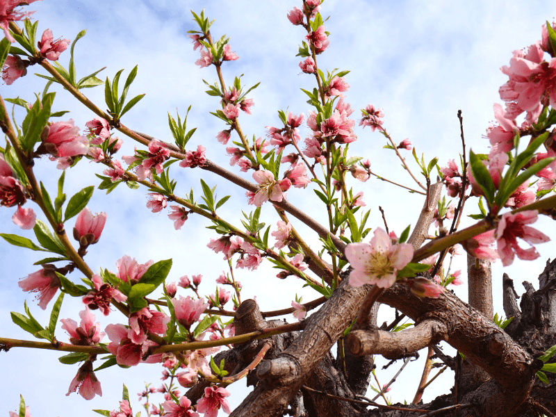 Peach blossoms at Schnepf Farms