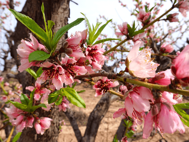 Pretty peach blossoms at Schnepf Farms