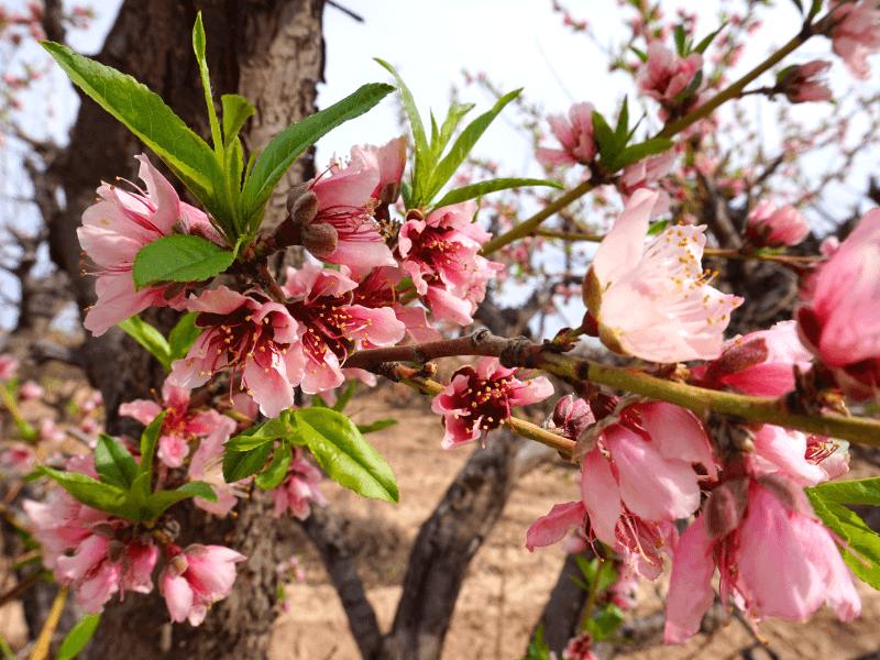Pretty peach blossoms at Schnepf Farms