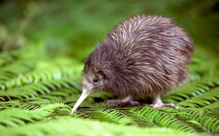 Птичка Киви (Новая Зеландия)