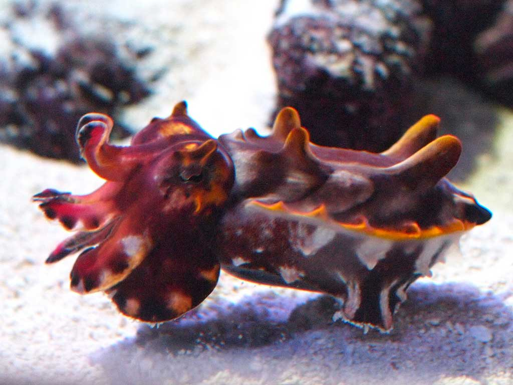Каракатица прикидывается кораллом