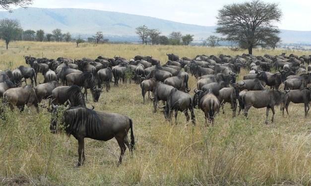 5 Day Tour to Serengeti Wildebeest Migration