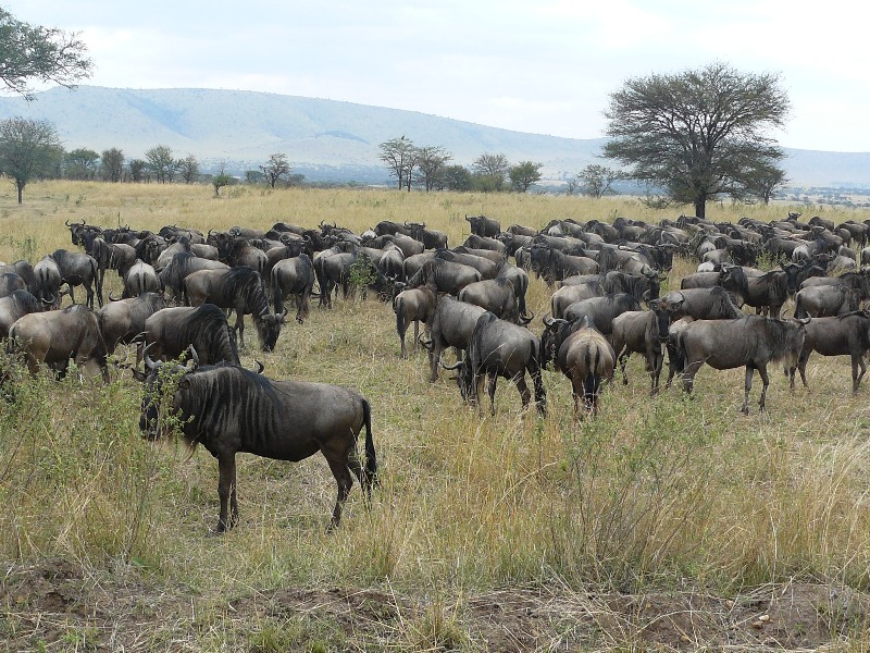 Safari Serengeti Wildebeests Migration 8 Days