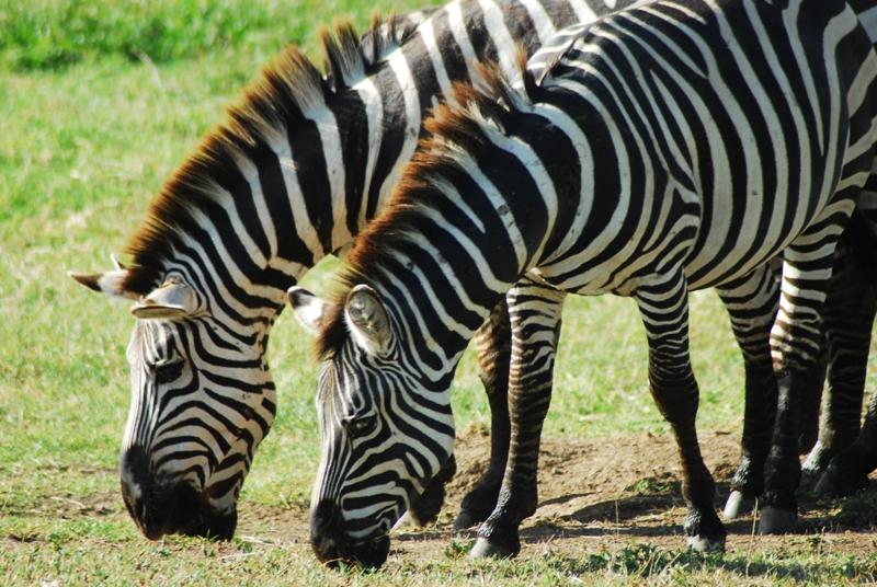 6 Day Safari Ngorongoro Crater Serengeti Manyara
