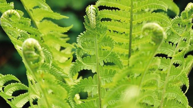 rośliny do półcienia