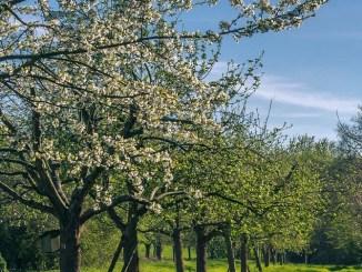 Przycinanie drzewek to bardzo istotny etap ich pielęgnacji, który wpływa na rozrost drzewa, pozwala formować jego koronę.