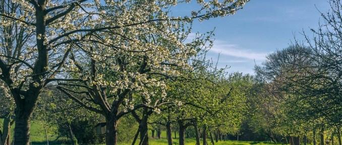 Wiosenne przycinanie drzewek owocowych