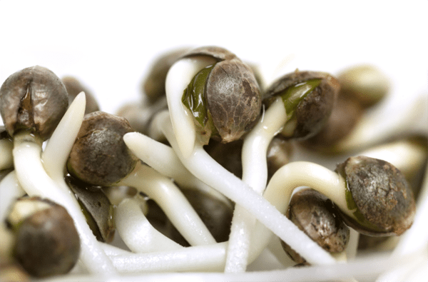 Cannabis seeds sprouting taproots