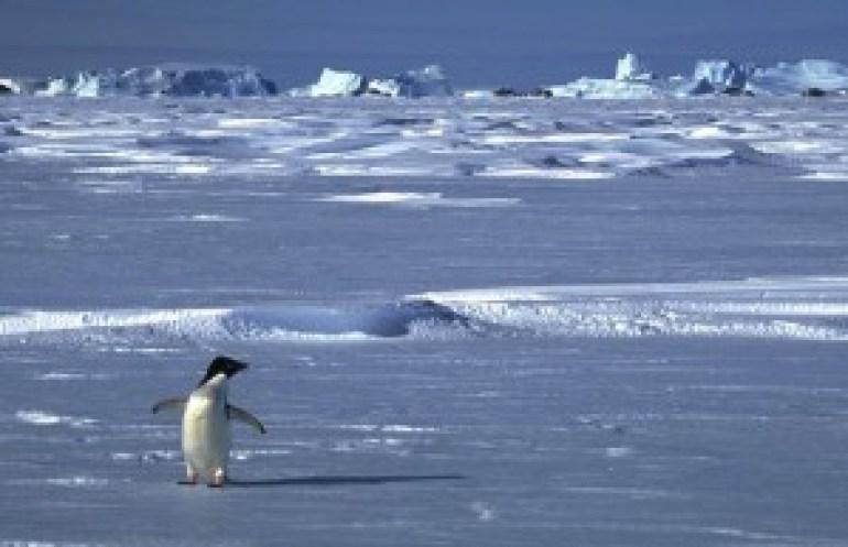 Típico habitante das Ilhas Falkland.