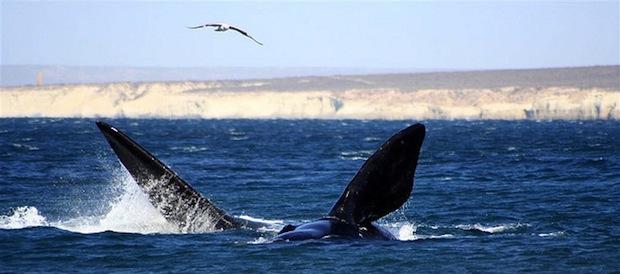 baleia puerto madryn argentina