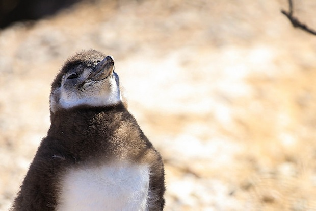 filhote pinguim puerto madryn