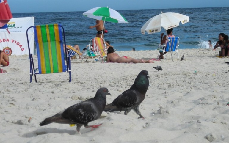 pombos praia rio de janeiro
