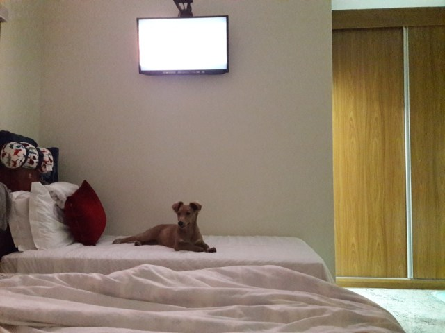 cachorro-cama-hotel-uberaba