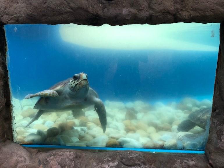 Tartaruga no Projeto Tamar de Praia do Forte