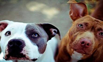 Perros potencialmente peligrosos. Obligaciones legales