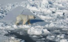 polar bear walking on an icy terrain